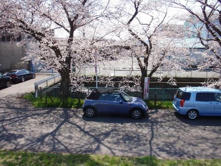 国立桜 005.JPG