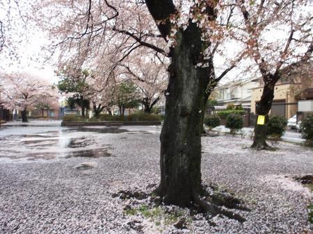 桜&雨 001.JPG